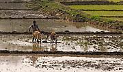 Local farmer preparing for planting rice. Burapahar, Assam, India.