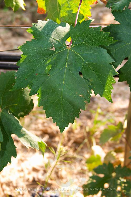 Tempranillo leaf. Albet i Noya. Penedes Catalonia Spain