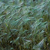 Wheat grows in a field in Nepal's Kali Gandaki Gorge.