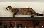 A strangely stuffed Wild Cat (Felis silvestris) above a hotel bar. Valbona, Albania. 04Sep15