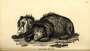 Ursine Sloth from General zoology, or, Systematic natural history Part I, by Shaw, George, 1751-1813; Stephens, James Francis, 1792-1853; Heath, Charles, 1785-1848, engraver; Griffith, Mrs., engraver; Chappelow. Copperplate Printed in London in 1800. Probably the artists never saw a live specimen