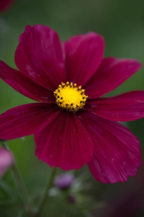 Cosmos bipinnatus 'Rubenza'