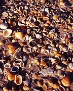 Wave-washed seashells along the Gulf of Mexico shore of St. George Island, St. George Island State Park, Florida.