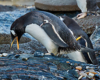 Penguin colony at the Bergen Aquarium. Image taken with a Nikon 1 V2 camera and 10-110 mm lens.