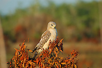 Pale red-shouldered hawk photographed in the late afternoon sunlight at the edge of the Fakahatchee Strand.