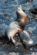 "Galápagos Sea Lion (Zalophus wollebaeki) at Puerto Baquerizo Moreno, on Isla San Cristóbal (Chatham Island), the easternmost island in the Galápagos archipelago, Ecuador. This mammal in the Otariidae family breeds exclusively on the Galápagos Islands and in smaller numbers on Isla de la Plata, Ecuador. Being fairly social, and one of the most numerous species in the Galápagos archipelago, they are often spotted sun-bathing on sandy shores or rock groups or gliding gracefully through the surf. They have a loud ""bark"", playful nature, and graceful agility in water. Slightly smaller than their Californian relatives, Galápagos Sea Lions range from 150 to 250 cm in length and weigh between 50 to 400 kg, with the males averaging larger than females. Sea lions have external ear-like pinnae flaps which distinguish them from their close relative with whom they are often confused, the seal. When wet, sea lions are a shade of dark brown, but once dry, their color varies greatly. The females tend to be a lighter shade than the males and the pups a chestnut brown. Isla San Cristóbal (Chatham Island) is the easternmost island in the Galápagos archipelago, and one of the oldest geologically. Its Spanish (and most commonly used) name ""San Cristóbal"" comes from the Patron Saint of seafarers, ""St. Christopher."" In 1959, Ecuador declared 97% of the land area of the Galápagos Islands to be Galápagos National Park, which UNESCO registered as a World Heritage Site in 1978. Ecuador created the Galápagos Marine Reserve in 1998, which UNESCO appended in 2001."