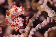 Pygmy Seahorse (Hippocampus bargibanti)<br /> Raja Ampat<br /> West Papua<br /> Indonesia