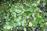 Great Scented Liverwort - Conocephalum conicum