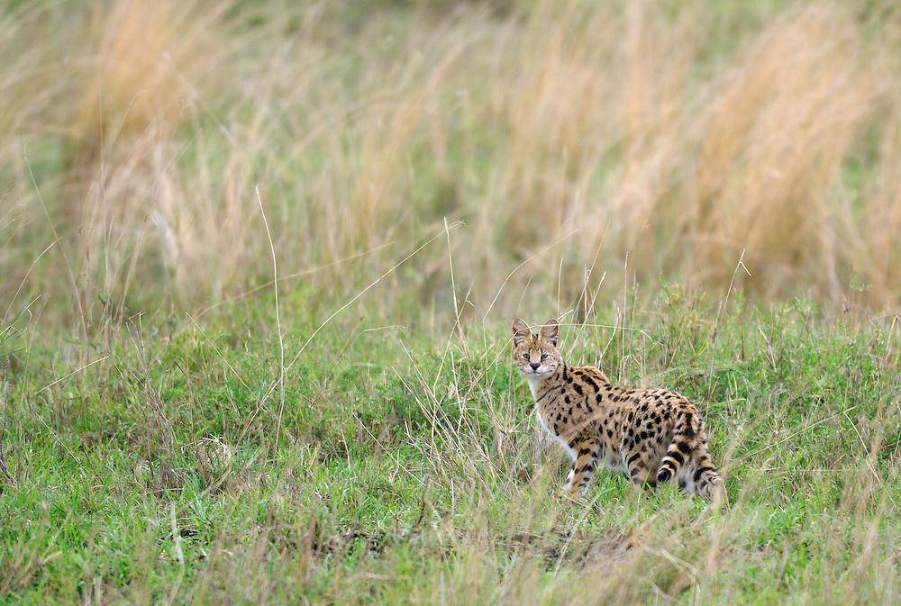 Serval, Leptailurus serval, Serengeti NP, Tanzania