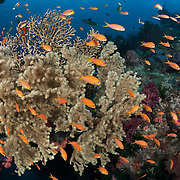 Orange basslets with sea fans on top of the arch at The Doghouse dive site in Diving Dog Passage on the Barrier Reef of Papua New Guinea