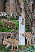 Lions are enticed by a scented bag to reach up so they can be measured by teh ruler - The annual weigh-in records animals' vital statistics at ZSL London Zoo. London, 24 August 2017
