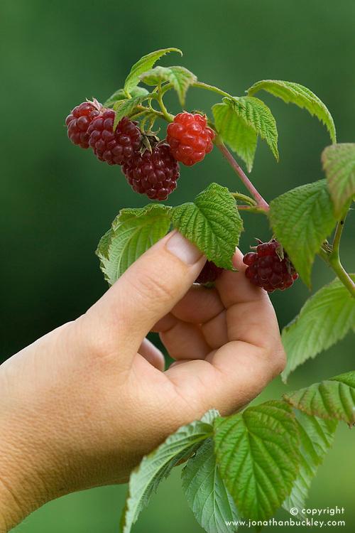 Hand picking Raspberry 'Autumn Bliss'