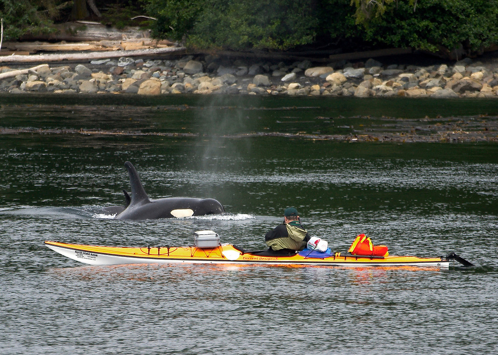 Alaska. SE. Inside Passage sea kayakers get a close up view of a large Orca, Grampus orcinus.