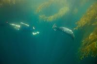 Russell Laman (age 13) encounters a Harbor Seal (Phoca vitulina) in Giant Kelp (Macrocsytis pyrifera) forest off La Jolla, CA.