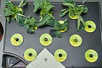 AeroGarden Farm 03 Right Tray at 23 days. R01-R03 Cauliflower; R04-R06 Kale; R07-R09 Cilantro; R10 Oregano; R11 Rosemary; R12 Thyme. Image taken with a Leica TL-2 camera and 35 mm f/1.4 lens (ISO 800, 35 mm, f/11, 1/50 sec).