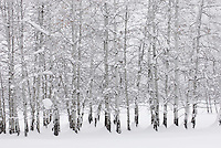Grove of aspen trees (Populus tremuloides) in winter, Methow Valley Washington USA