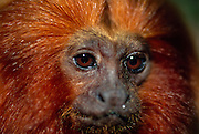 The bare skin of the face of a Golden Lion Tamarin is surrounded by a remarkable mane from which the name of this species derived. | Die nackte Gesichtshaut des Löwenäffchens ist von der namensgebenden, goldenen Mähne umgeben.