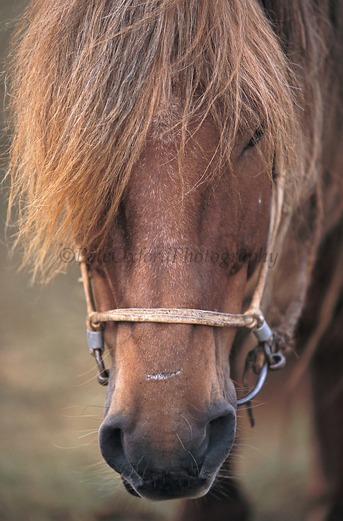 Naadam race horse<br /> Naadam festival<br /> Ulaanbaatar race track<br /> Mongolia