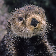 Sea Otter, (Enhydra lutris) Mother grooming on seaweed covered rocks. Aleutian Islands. Alaska.