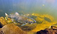 Chinook Salmon (female)<br /> <br /> Paul Vecsei/Engbretson Underwater Photography