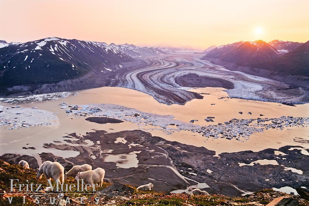 Mountain goats and claciers, Kluane National Park, Yukon