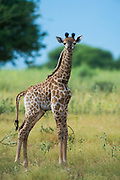 Giraffe (Giraffa camelopardalis) baby<br /> Marakele Private Reserve, Waterberg Biosphere Reserve<br /> Limpopo Province<br /> SOUTH AFRICA<br /> RANGE: Savanna regions in scattered isolated pockets of Sub-Saharan Africa.