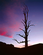 CAEWM_05 - USA, California, Inyo National Forest, Ancient bristlecone pine stands silhouetted at sunset; Ancient Bristlecone Pine Forest Area. (6000x7655 px)