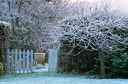 Prunus in winter with picket gate and stone urn.