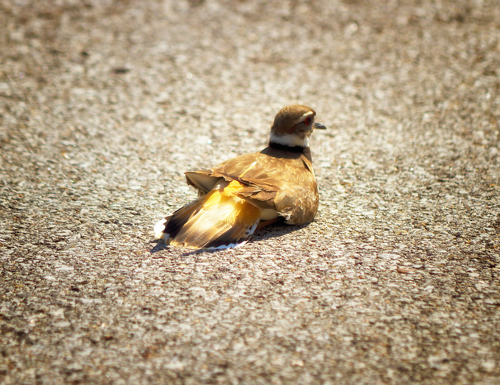 "Several KillDeer have made the trees on the Gold?s Gym parking lot home for the next 26 to 28 days of their incubation period. ..The killdeer frequently uses a ""broken wing act"" to distract predators from the nest. These are photos of the ""broken wing act"". This is a beautiful and fascinating bird."