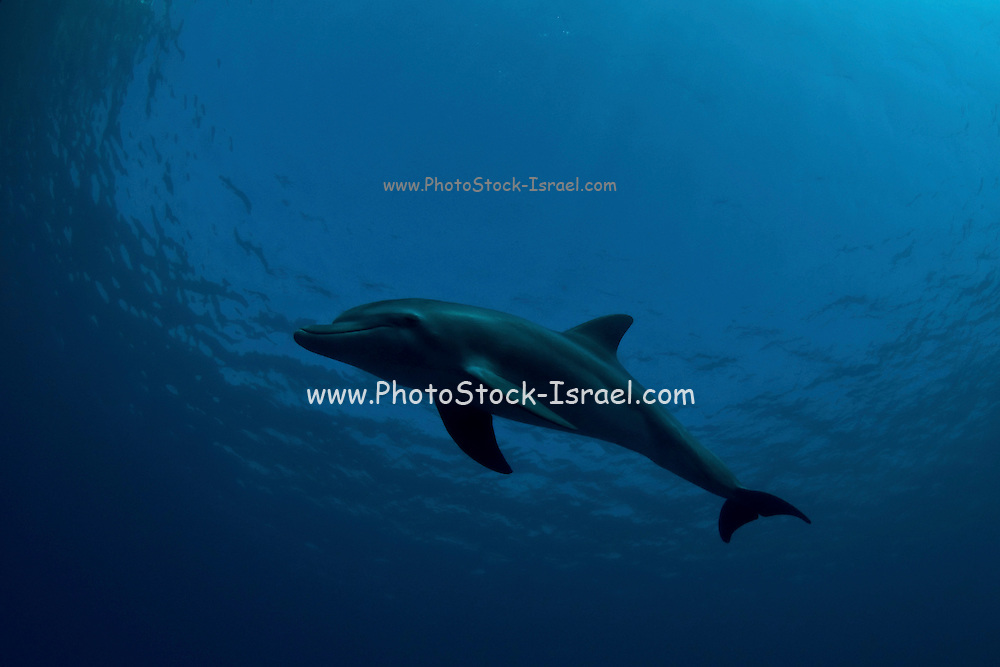 Israel, Eilat, Red Sea, - Underwater photograph of Marco a three year old Dolphin leaves at the coral reef