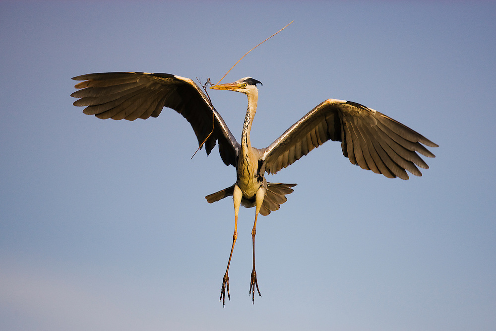 Grey heron (Ardea cinerea) in flight with small branch in bill, Camargue, France