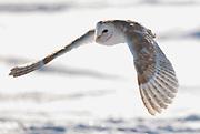 Barn owl (Tyto alba) in early morning winter sun