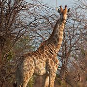 Afternoon glow illuminates this Giraffe among the trees. Nata, Botswana.