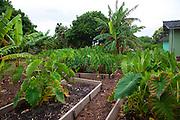Taro, Maui Nui Botanical Gardens, Kahului, Maui, Hawaii