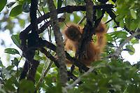 Adult female Bornean Orangutan with infant.<br /><br /><br />Fera & Feri