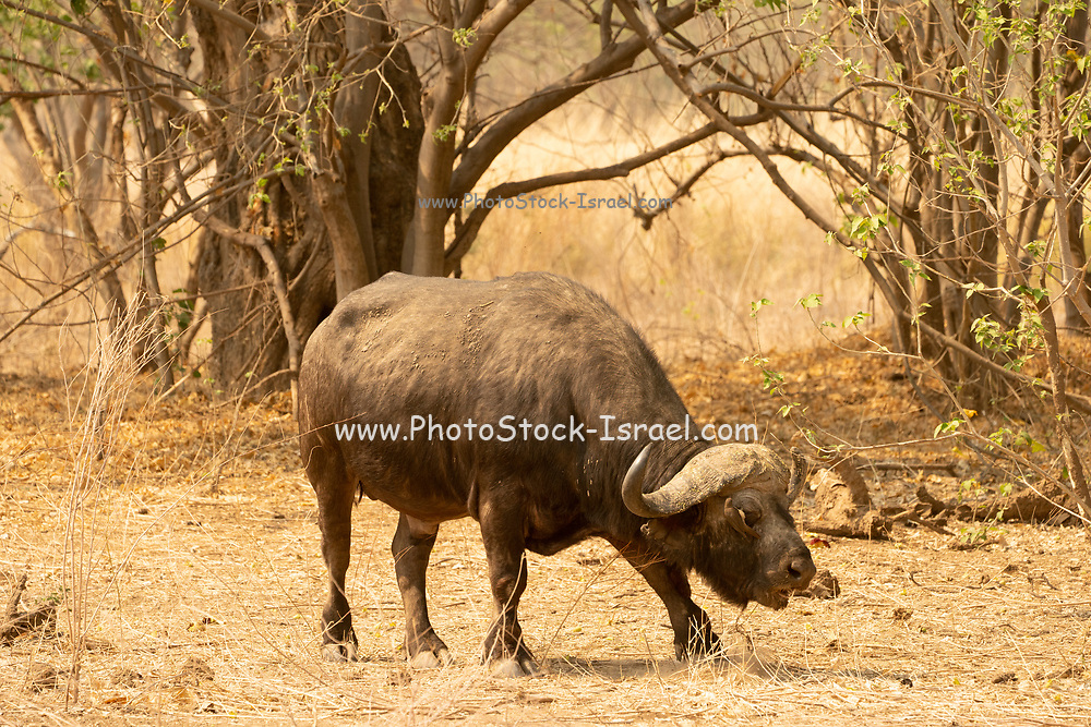 African buffalo (Syncerus caffer). This large herbivore eats mainly grass, although its diet also includes leaves and shoots. It lives near forests and water, retreating into them during the hottest parts of the day. The African buffalo is a social animal, living in vast herds which may number up to several thousand individuals. A fully-grown adult can weigh 1000 kilograms and makes a formidable opponent, even for a group of hunting lions. It inhabits all of sub-Saharan Africa, except the southernmost regions. Photographed at lake Kariba, Zimbabwe.