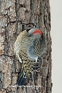 01193-01111 Northern Flicker (Colaptes auratus) male keeping warm in winter, Marion Co.   IL
