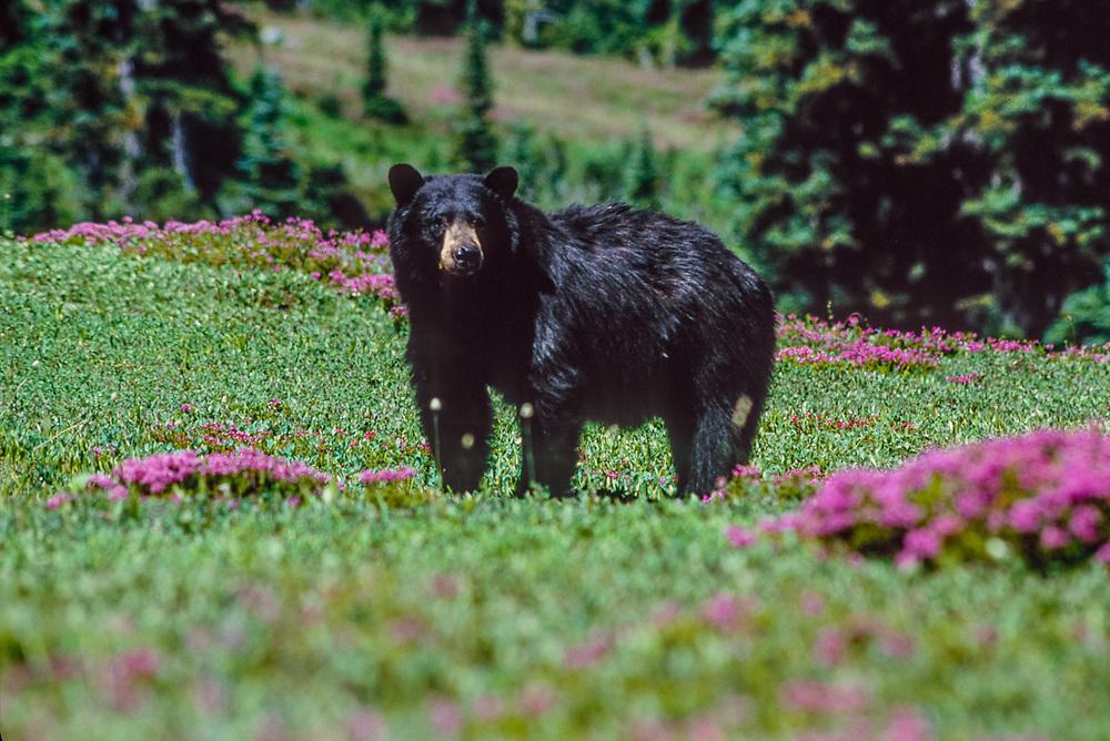 Black bear (Ursus americanus), Thousand Acre Meadow, Olympic National Park, Washington, USA