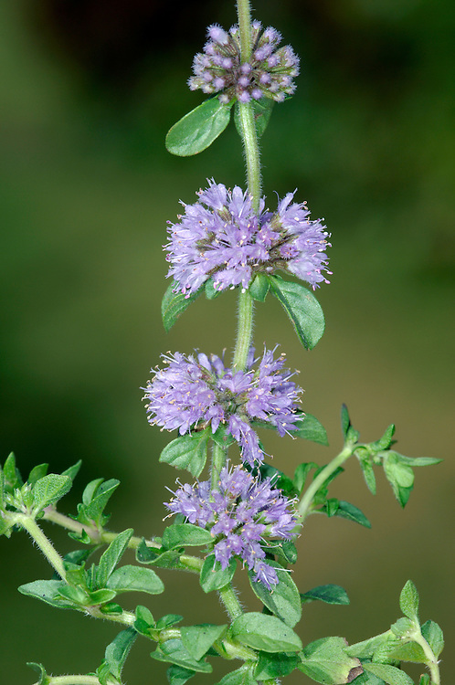 PENNYROYAL Mentha pulegium (Height to 30cm) is mint-scented, creeping and downy perennial with upright flowering stems carrying discrete whorls of mauve flowers (Aug-Oct). It grows in damp, grazed ground beside ponds and the New Forest is the best place in the region to see the species.