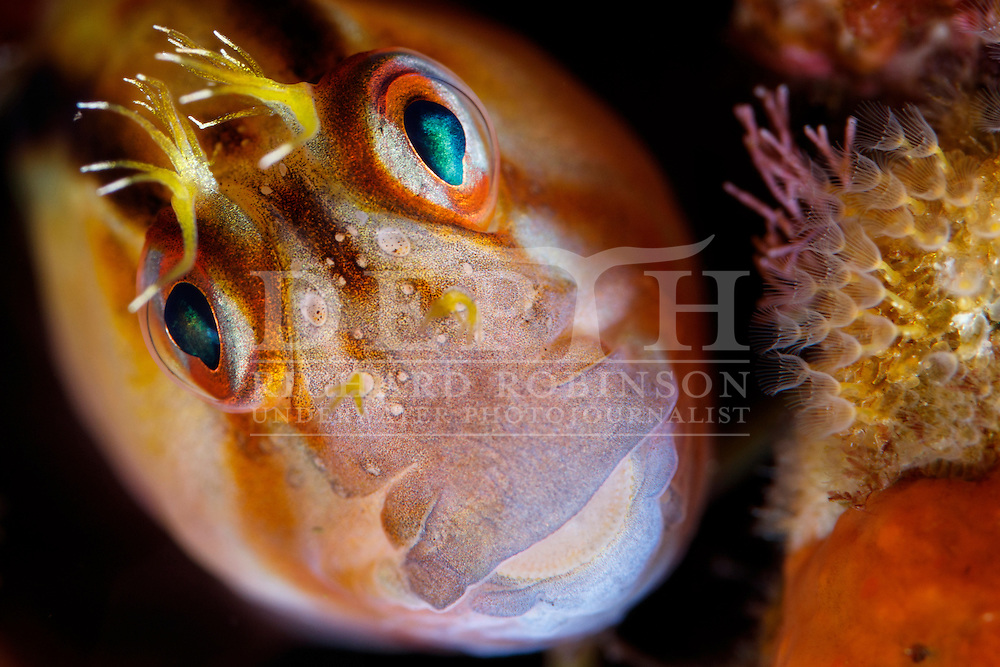 Parablennius laticlavius (Crested blenny) Sunday 01 May 2016<br /> Photograph Richard Robinson © 2016<br /> Dive Number: 783<br /> Site: Middle Arch, Poor Knights Island Marine Reserve,  New Zealand<br /> Dive Buddy: Ian Skipworth<br /> Boat: Mazurka<br /> Temperature: 20.2<br /> Rebreather : Inspiration Vision. Total Time On Unit: 378:18<br /> Maximum Depth: 62.2 m<br /> Bottom Time: 122 minutes<br /> Bottom Time to Date: 43,994  minutes<br /> Cumulative Time: 44,116  minutes