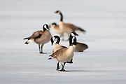 Cananda Geese on an iced over Brown's Lake, Montana.