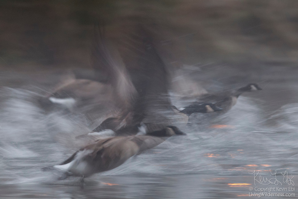 Several Canada Geese (Branta canadensis) run on the surface of the Sammamish River to take flight in Kenmore, Washington. Thousands of Canada Geese winter in the area, spending the night on the banks of the river and the nearby Lake Washington. Large flocks fly up the river each morning to reach feeding grounds.