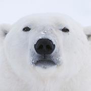 A polar bear near Cape Churchill, Manitoba.
