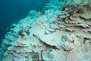 plate and pillar coral, Porites rus, and cauliflower coral, Pocillopora meandrina, bleached by warm sea temperatures during 2015 El Nino event, Honaunau Bay, Kona, Hawaii ( Big Island ), Hawaiian Islands, USA ( Central Pacific Ocean )