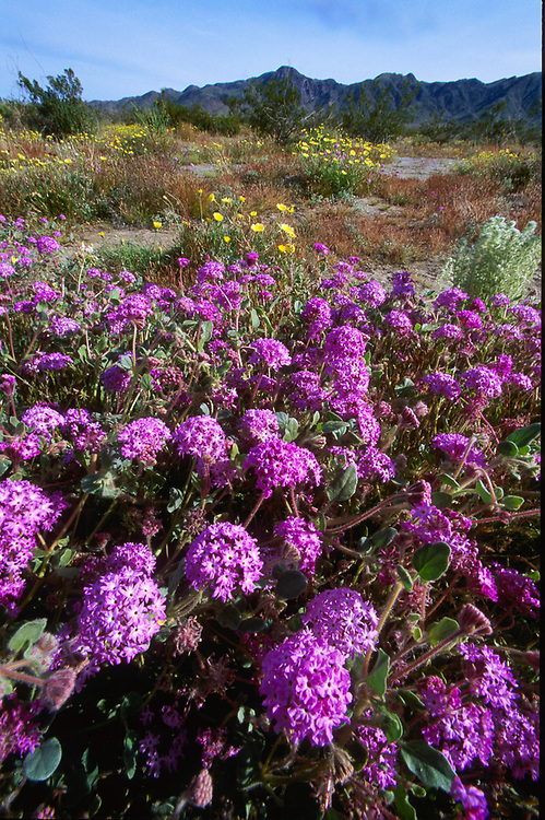 Sand verbena, March, Desert dandelions, March, Joshua Tree National Park, California, USA.