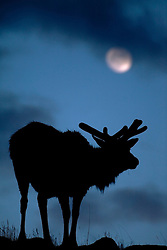 A bull elk in his spring velvet pauses from his browsing to look at the full moon