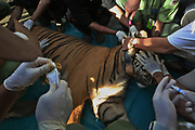 Tigers embroiled in conflicts with humans released back to the wild<br /> <br /> Sumatran tigers, or Panthera tigris sumatrae is a rare tiger subspecies, are found only on the island of Sumatra, Indonesia. There are an estimated 400 to 500 left in the wild, most in national parks, and experts warn they will completely disappear from the wild in the coming years without greater protection.<br /> Forest conversion, habitat fragmentation and conflict with humans are the biggest threats, and the Forestry Ministry believes an average of up to 10 tigers are killed every year in Indonesia.<br /> Tambling Wildlife Nature Conservation, South Sumatra, which is supported by the NGO, worked with the Forestry Ministry to rescue six tigers embroiled in conflicts with humans. Four of the tigers are now back in the wild after spending 18 months at a rescue centre. <br /> ©Afriadi Hikmal/Exclusivepix Media