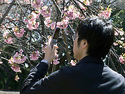 cell phone used as camera to take a picture of cherry blossom