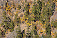 Ponderosa Pine (Pinus ponderosa) and Vine Maple (Acer circinatum) on a Klickitat Canyon wall, WA, USA
