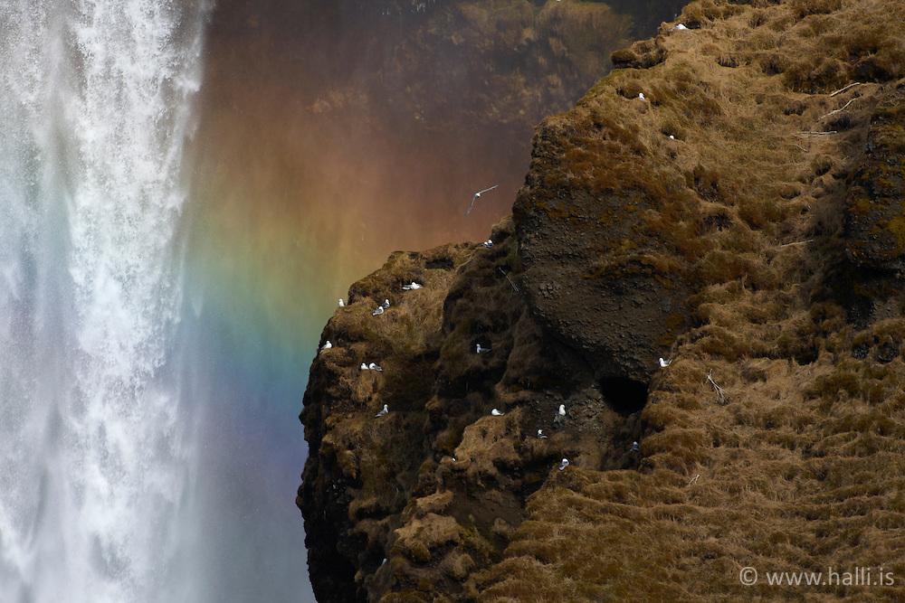Birds at the waterfall, Skogafoss on the south coast of Iceland - fuglalíf við Skógafoss